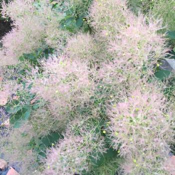 スモークツリー。日の当たるところに植えておけば特に手入れは入りません。すごく雰囲気が出るのでおすすめです。