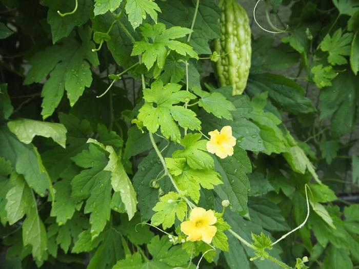 苗が育つとつるが伸びていきます。つるの成長はとても早いので、用意した支柱に巻き付くよう、必要に応じてビニールタイや麻縄で誘引(つるや茎を支柱やネットにゆるく縛ること。)します。特に重い実がなるものは、ヘタ近くを誘引することで実が育ちやすく、傷つきなどを防ぐこともできます。  お水は晴れたら1日1回、たっぷりあげましょう。プランターの場合、底から水が流れ出すくらいまであげます。虫や病気が発生した時には、症状に応じて駆除剤や保護液などを施します。  花が咲いてから実がなるまでの間は、肥料をあげましょう。それぞれの植物に適した配合の肥料が売られています。 ここまで手をかけたら、あとは収穫を楽しみに待ちましょう!