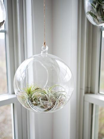 球体のガラスにエアプランツをいれたハンギング。まるでシャボン玉が浮いているような幻想的な空間に。