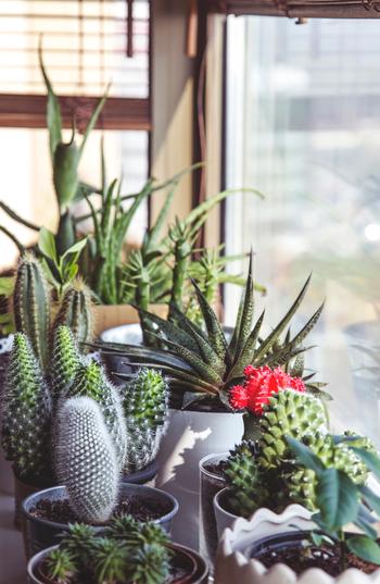 形の違うサボテンをいくつか置くことで、部屋の一角を植物園のような雰囲気に。