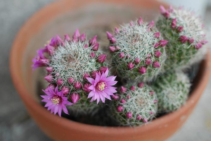 実はサボテンはとってもきれいな花が咲きます。花を咲かせるには、十分に日光に当て、適度な水やりをすることと、真夏と冬の休眠期にはあまり水やりはせずに休ませることが大事なのだそう。動物と同じでサボテンにも冬眠に当たる休眠期があります。生長期と休眠期のメリハリができることで素敵な花を咲かせるのです。