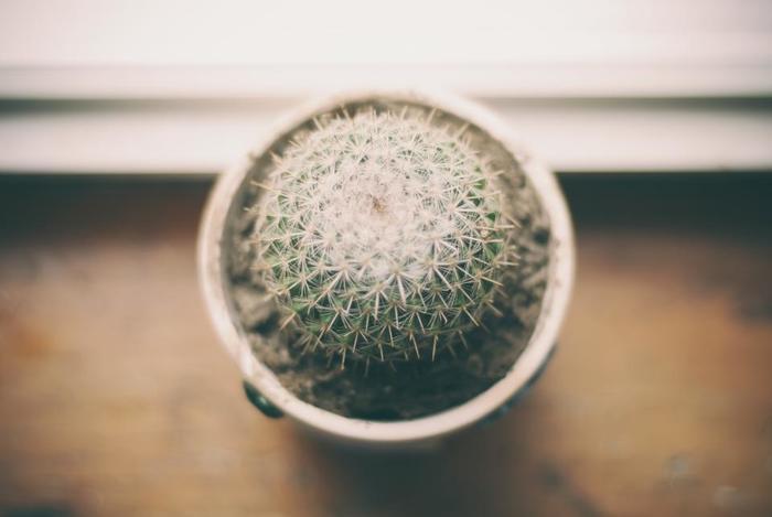 丸い形のサボテンは「玉サボテン」とも呼ばれ、愛らしい形が人気です。鋭いとげがあるものが多く、丸い形のまま大きくなっていきます。上手に育てると、直径50㎝以上になることもあるそうです。