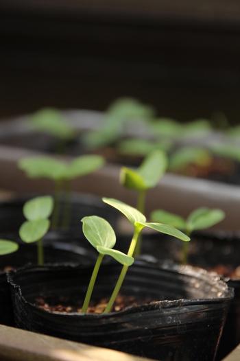 種から育てる場合は6月初期までに蒔きましょう。種から植えると発芽環境を整えたり、間引き・植え替えと手間がかかりますが小さな双葉からぐんぐん伸びていく様子を観察することができます。  初めて育てる場合は、苗からのスタートがおすすめです。プロの農家さんが育苗した苗は種苗店、ホームセンターなどで購入できます。葉っぱの間隔が詰まった、ハリのある葉の苗を選びましょう。また、苗を買ってきたら根っこが詰まってしまわないうちに、なるべく早く土に植え替えします。