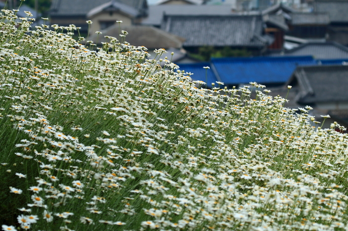 「因島フラワーセンター」は、白滝山の麓にある植物公園。花壇や芝生の広場は、入場無料で一般開放されています。 【画像は、除虫菊が咲き乱れる園内。】
