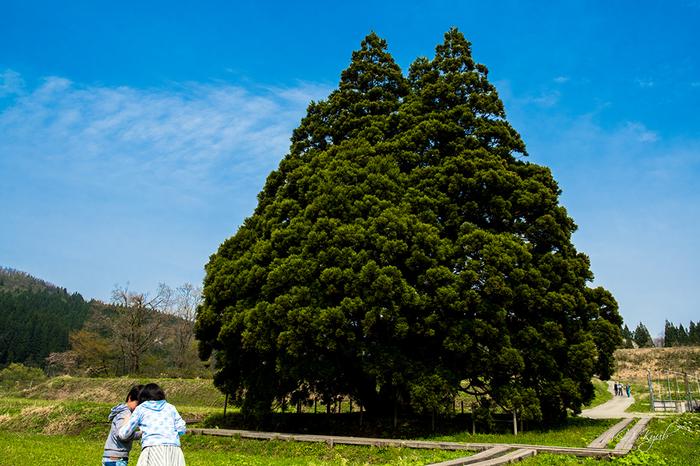 おおきなおおきなトトロの木。宮城の鮎川村や米沢の李山(すももやま)で出会えるそうです。どことなく神秘的で、物語の世界に迷い込んでしまいそう…。