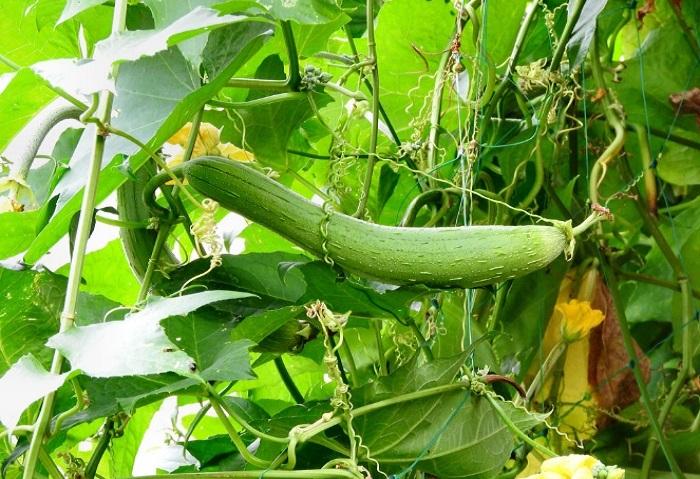 インド原産、ウリ科の1年草で、日本には江戸時代に伝わったとされています。 葉が大きく、日差しのさえぎり効果は一番。ただし、実がなってくると重さが増すため、丈夫な支柱が必要になってきます。