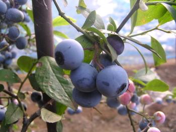 こちらはラピッドアイ系の「ウッダード」という品種。大粒で美味しい実がつきます。初心者さんでも育てやすく、病気や害虫に強いおすすめの品種。関東以南での栽培に適しています。