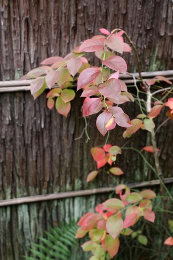 庭に佇むのは紅葉したブルーベリー。紅葉すると秋の深まりを感じます。品種によって紅葉の具合や収穫時期、落葉の有無も異なるので、ガーデニングとして飽きずに長く楽しむには両種を植えたいものです。