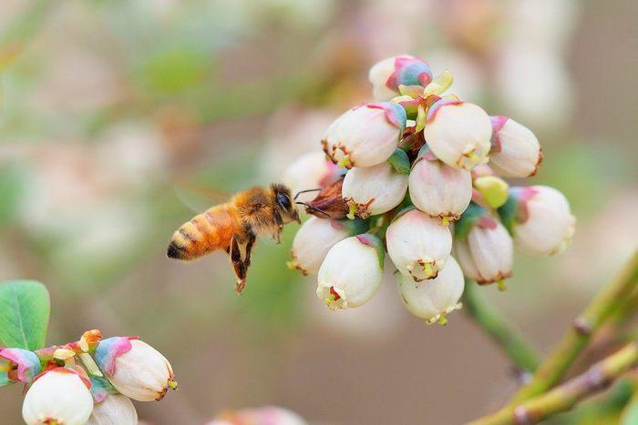 春先に咲くブルーベリーの白い花。品種により5月頃から9月頃まで小さなベルのような花が鈴なりにつきます。パステルでちょっとだけファンシーな色味が可愛い!