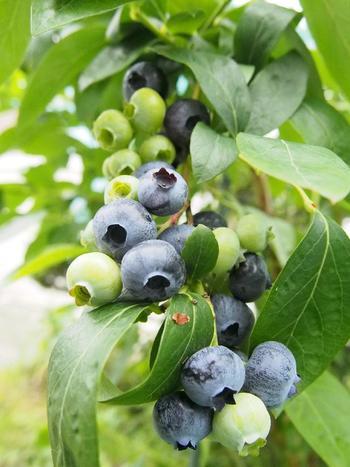 ノーザンハイブッシュ系の品種は寒さに強く、関東以北での栽培がおすすめ。 大粒の「チャンドラ」などが有名です。