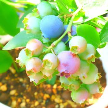 ノーザンハイブッシュ系を品種改良したサザンハイブッシュ系。関東以南の暖かい土地での栽培に適しています。美味しく収穫量も多い「ミスティ」などが人気です。