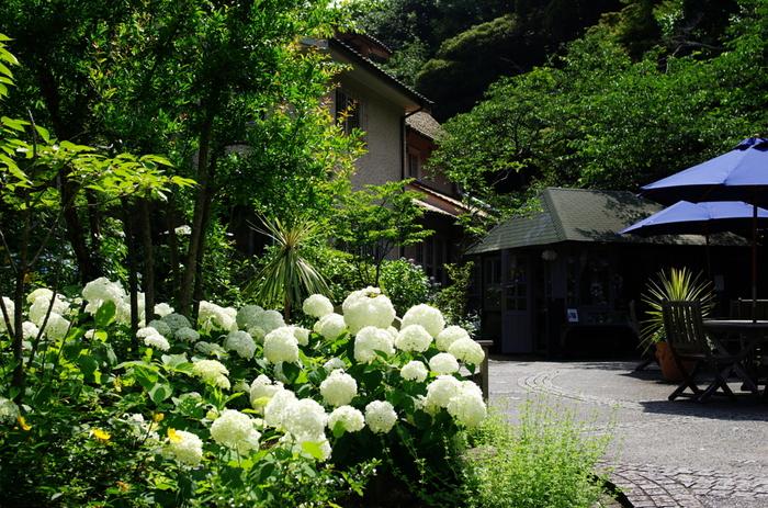 アジサイを誇るお寺の中でも、浄妙寺の裏手には、まっ白いアジサイ「アナベル」が咲き乱れているんですよ。