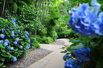 """""""明月院ブルー""""と呼ばれている明月院内の姫アジサイ。うっとりするほど綺麗です。"""
