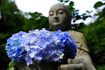 別名「紫陽花寺」とも呼ばれている明月院のアジサイは6月上旬から咲きはじめますが、6月中旬から下旬が主に見頃と言われています。