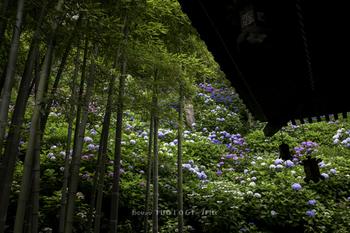 眺望がよく、季節を問わず年中人気の長谷寺。その中でも一番人が訪れるのが、6月から始まるアジサイのシーズンなんです。