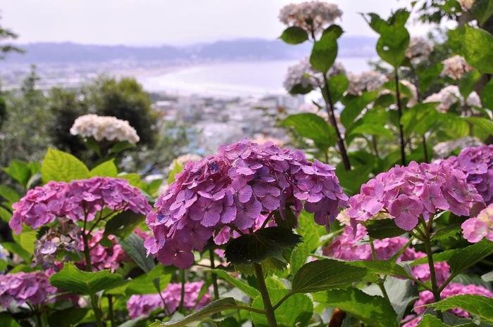 海と山の景色が拝める眺望散策路には、なんと2000株を超える紫、青、ピンクなどの色とりどりのアジサイが所せましに植えられているんですよ。