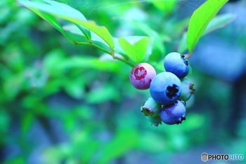 食べて美味しい、育てて楽しいブルーベリー。日々の暮らしに鮮やかな彩りを添えてくれますよ。
