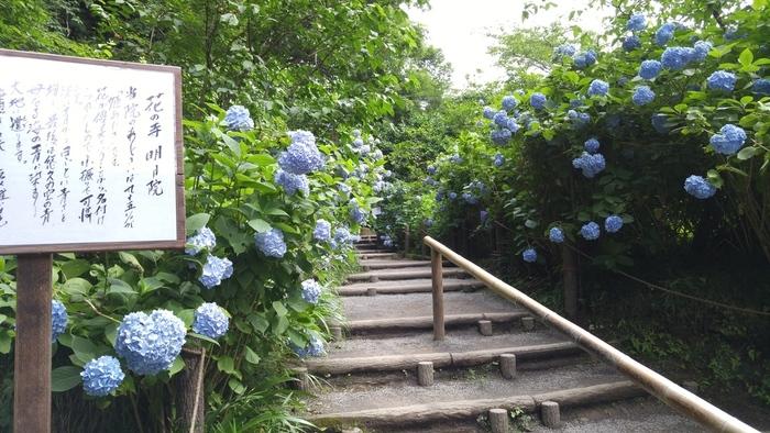 鎌倉の紫陽花名所「明月院」。こちらには、青が美しい「姫アジサイ」というアジサイが多く植えられており、境内全体がこの姫アジサイで埋め尽くされた青一色の景色が圧巻です。