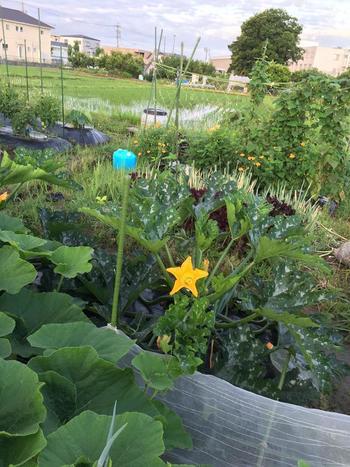 ラタトゥユやオーブン焼きなど、食卓からの熱視線を集めつつあるズッキーニ。実は野菜の中でも比較的栽培が簡単でウイルスに強い苗などもあり家庭菜園ビギナーさんにおすすめなんです。ズッキーニの近くにネギの仲間(長ネギ・玉ねぎ・ニラ・にんにくなど)を植えると病害虫を遠ざけるとのこと。また、同じウリ科の野菜を植えると、ズッキーニを好む害虫ウリハムシや、立枯病・萎凋病などの病気や連作障害を抑える効果も期待されます。   ズッキーニは横にどんどん伸びるので、植える位置に注意しましょう。(筆者のミニ菜園では2m離して植えました)