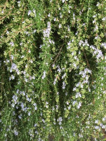 ほふく性のローズマリーは壁などから垂らす事ができます。触れるとさわやかな香りがしますので、香りのカーテンを作る事ができます。