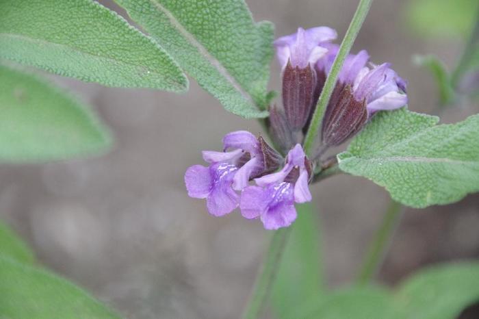 セージは初夏の5月から6月にうす紫色のかわいい花を咲かせます。葉の形状も個性的でこんもりと茂るので観賞用のハーブガーデンの素材としても広く使われています。