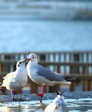 成鳥では灰色の背を持ち、体のところどころに黒っぽい斑点模様があるのが特徴。写真の斑点はキズではないのでご安心下さい。大きさは、全長約50cm。日本全国の海岸、河口、港など海に行くと会えます。夏っぽいイメージですが、実は冬の鳥で、群れて生活しています。何でも食べてしまうため結果的に街をきれいにしてくれる「海辺の掃除屋さん」。