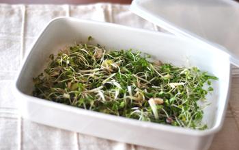 ブロッコリースプラウトを使った、夏におすすめのレシピ! 生姜・ミョウガ・しそ、と薬味の風味をたっぷり味わえます。冷奴や、お蕎麦、海藻と和えてサラダにしても美味しそう。まさに夏の万能薬味です。