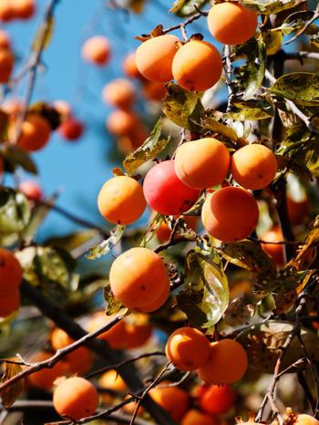 秋の旬の味覚、柿。最近ではお店でも見かけるようになりました。甘~い柿は、そのまま食べるのももちろん美味しいのですが、ちょっとひと手間加えて、料理にチャレンジしてみるのはどうでしょうか?デザートだけではなく、前菜やメイン料理にと色々なアレンジができる柿のレシピ、ご紹介します。