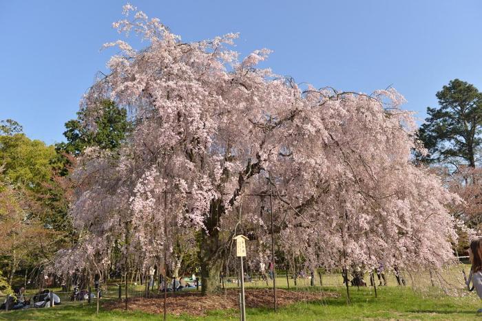 """画像は「上賀茂神社」境内に咲く""""みあれ桜""""と呼ばれる紅枝垂れ桜。"""