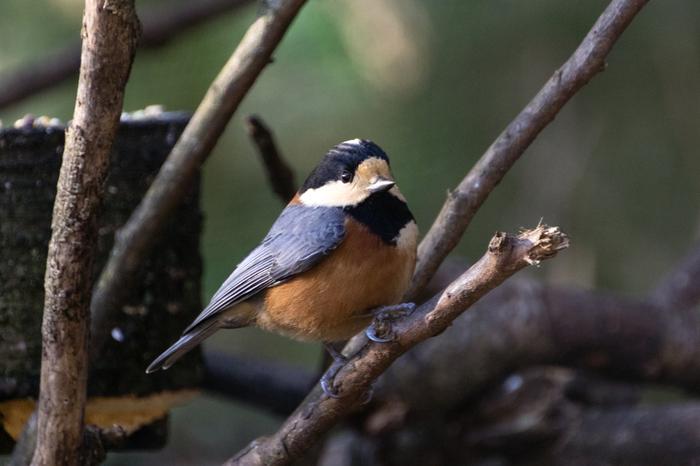 ヤマガラは、体調14cmほどの小さな鳥。胸から腹にかけての赤茶色が特徴です。
