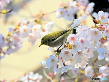 メジロは、緑色の体に、目の周りの白い縁取りが特徴。冬から春にかけて多く見られる小鳥です。
