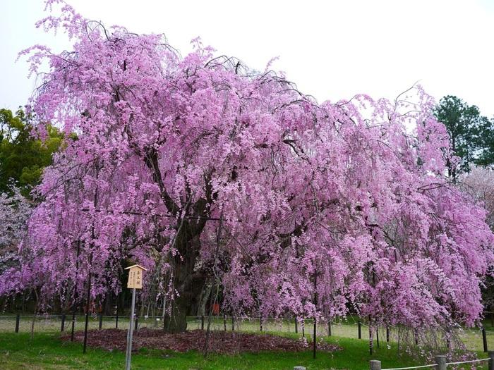 上賀茂神社の桜の名木「斎王桜」。一の鳥居をくぐると右手に2本の桜の巨木があります。手前が紅枝垂れ桜の「斎王桜」です。