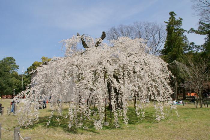 もう一本の名木は「御所桜」。孝明天皇が京都御所から御下賜されたことからその名が付けられた枝垂れ桜です。