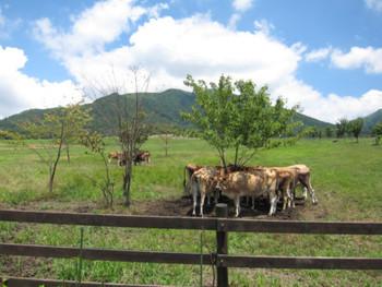 蒜山の酪農を体験できる蒜山ジャージーランドでは、ジャージー牛と触れあったり、乳搾りを体験することもできます。 牛たちは皆のんびり、ゆったりと過ごしており広大な牧場の風景には癒されること間違いなし!ぜひ一度足を運んでみて欲しいと思います。 お土産はもちろん!蒜山ジャージーバターで決まり!