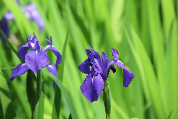 藤原定家の父俊成は 「神山やおほたの沢の杜若ふかきたのみは色にみゆらむ」と、 自身の恋と杜若の美しい色を重ねて詠んでいます。  「かきつばた群落」の見頃は、5月上旬から中旬頃です。