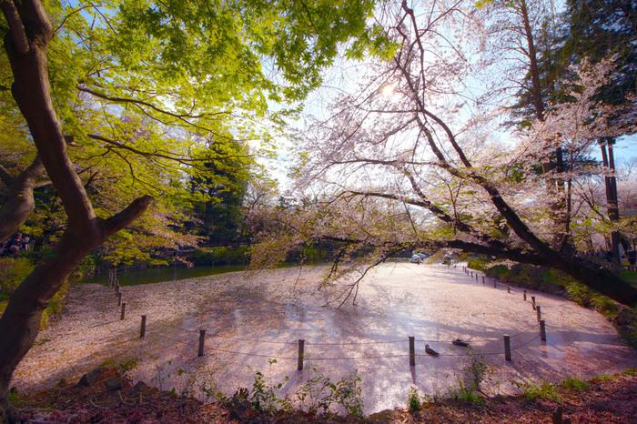 「住みたい街ランキング」の上位にランキングする人気の街「吉祥寺」。 吉祥寺の魅力の一端を担うのは、ここ「井の頭恩賜公園(いのかしらおんしこうえん)」によるところも大きいでしょう。雑木林が茂り、1年を通じてのんびり過ごせる公園ですが、桜の季節はご覧の通りの桃色一色。