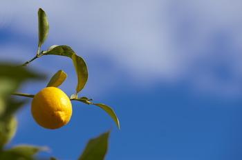 皮まで美味しい自家製レモンを育ててみませんか? 紅茶に添えたり、スイーツに使うのはもちろん、一昨年あたりから話題になっている塩レモンにして色々な料理に活用するのもいいですね。自家製だから皮まで安心して使えます!