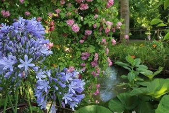 アガパンサス(ムラサキクンシラン)はユリ科の花。小花が鞠(まり)のように咲く様子が素敵。