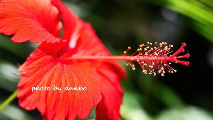 """アオイ目アオイ科・フヨウ属。別名は仏桑花(ブッソウゲ)。赤をはじめ、黄色やピンク、オレンジなどの鮮やかな色によって、南国の花の代名詞とされています。花の命は1日ですが、次つぎに開花することから、""""新しい恋""""の花言葉があるとか。 園芸品種では、本州では、高さ数10㎝の鉢植えが出回っていますが、沖縄では、3mを超す高さのものも珍しくありません。"""