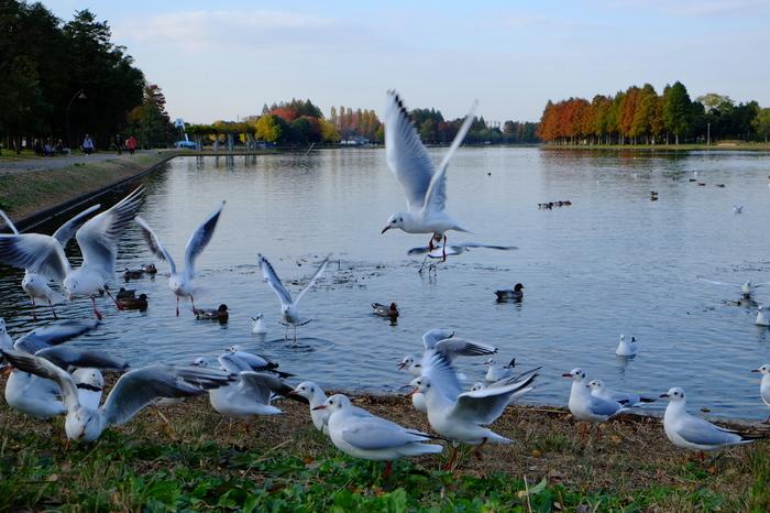 JR常磐線・東京メトロ千代田線「金町駅」からバスに乗り換えて行く、下町葛飾区にある大きな公園が「都立水元公園(みずもとこうえん)」。水辺の風景が美しく、メタセコイアの並木が、どこかヨーロッパを感じさせてくれます。
