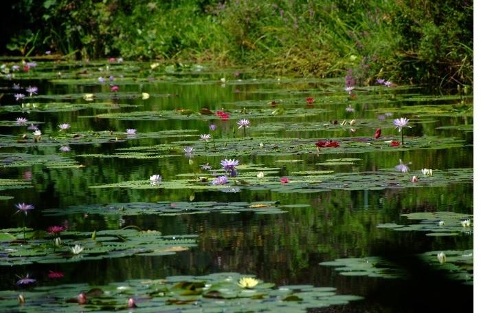 スイレン属スイレン科の水生多年草。花の色には、紫・黄・オレンジ・ピンク・白・青・赤があります。和名・睡蓮の由来は、花が夕方に閉じることから。
