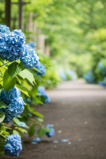 かつての学名は「オタクサ」(Hydrangea otaksa)。日本の植物学に多大な影響を与えたオランダ人医師・植物学者のシーボルトが、その愛人であった楠本滝子(後にオランダおイネと呼ばれる日本人初の女性医師の母)にちなんで名付けたとする説が。