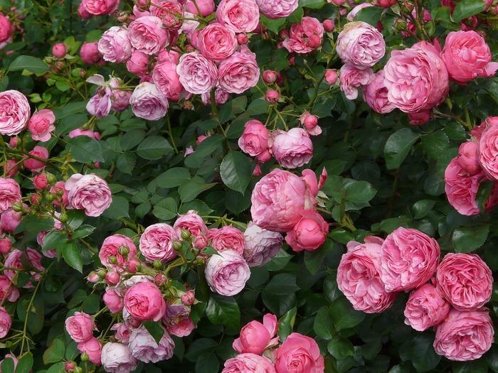 同じピンクでも、色相によって花言葉は分けられています。     ↓↓↓
