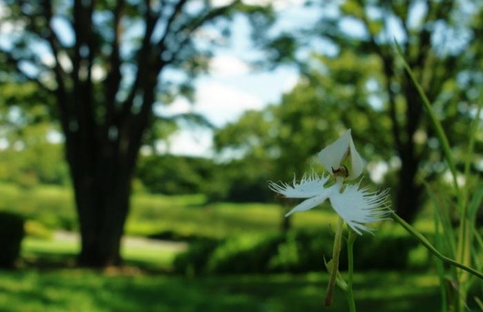 """ラン科サギソウ属(Pecteilis)。湿った場所を好む多年草です。名前の由来は、シラサギが舞う姿に似ていることから。小さくとも精緻で美しい姿から愛好家が多く、開花期には各地で""""サギソウまつり""""や""""品評会""""が開かれています。"""