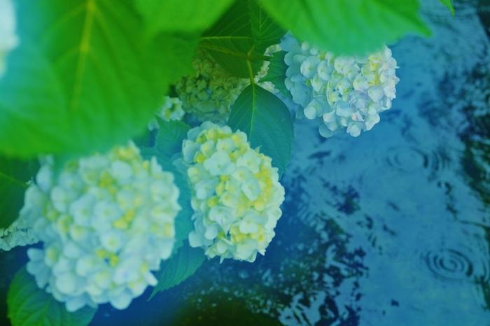 雨が続いて憂鬱な気分になる梅雨の季節。でも、道行くときにアジサイが色鮮やかに咲いているのを見つけると、なんだか気持ちが華やぎますよね。