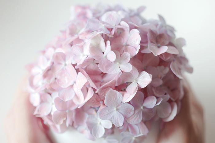 そんなアジサイをお部屋でも楽しみませんか?切り花なら花屋さんで手軽に手に入れることができます。切り花で楽しんだ後はドライフラワーにすれば、長く飾っておけますよ。アジサイのある暮らしをご紹介します。