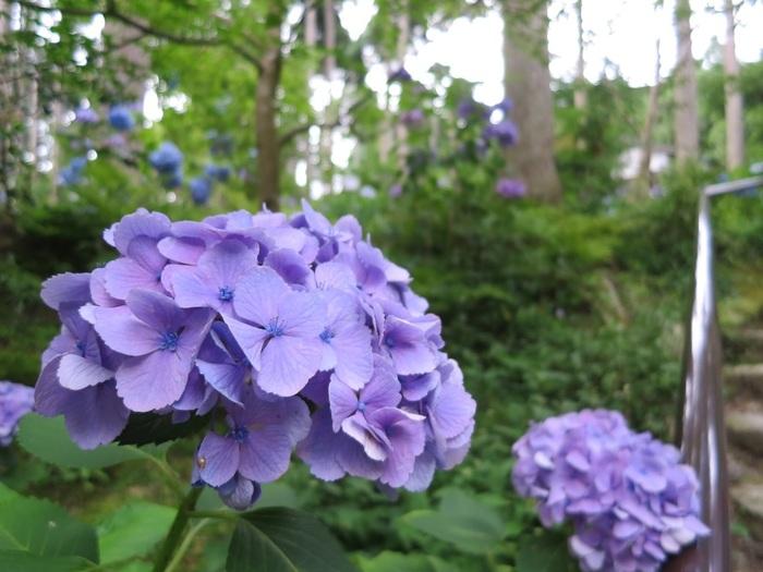 紫陽花苑では、梅雨の季節になると数千株ものあじさいが見事に花を咲かせ、境内の美しさを引き立てています。