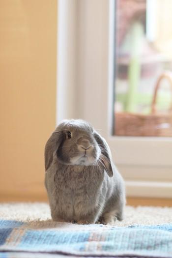 Photo on [VisualHunt](https://visualhunt.com/re4/40798dc3)  うさぎは繊細で神経質な動物です。飼う部屋や餌を変えただけでも体調不良を起こすことがあります。また、大きな音にも敏感です。引っ越しがなく、一定の環境で暮らせる方におすすめです。