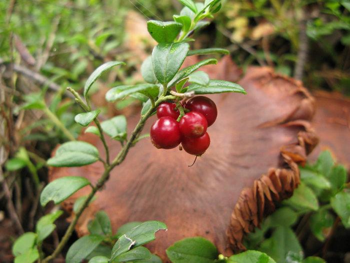 コケモモとは、ツツジ科の植物で、実は1センチくらいでそれを食用としジャムや果実酒として加工されることが多い果実。 栽培されていることは稀で、野生で採取することが一般的なのだそう。