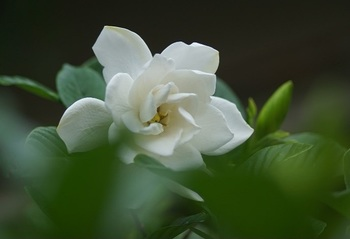 はなやかな八重咲きの品種もあります。
